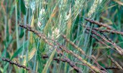 Caractéristiques génétiques et physico-chimiques et valeur d'utilisation du blé tendre et du blé dur