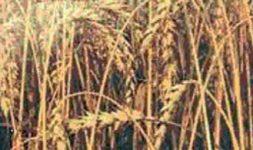 Aménagement de la loi sur le contingentement des moulins à farine panifiable. 1936-2006