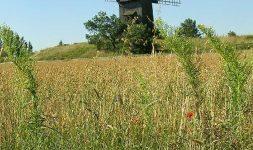 Les anciennes variétés de blé