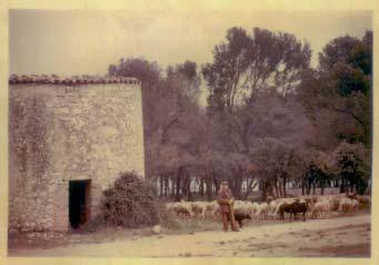 Carte postale ancienne représentant le moulin et le berger au milieu de ses moutons. Document fourni par l'Association Cconservation du patrimoine de Lambesc