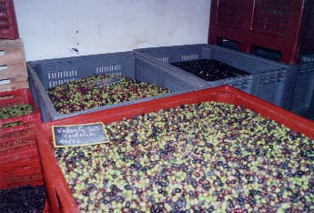 Stock d'olives au moulin du Flayosquet - photo M.Pannetier.